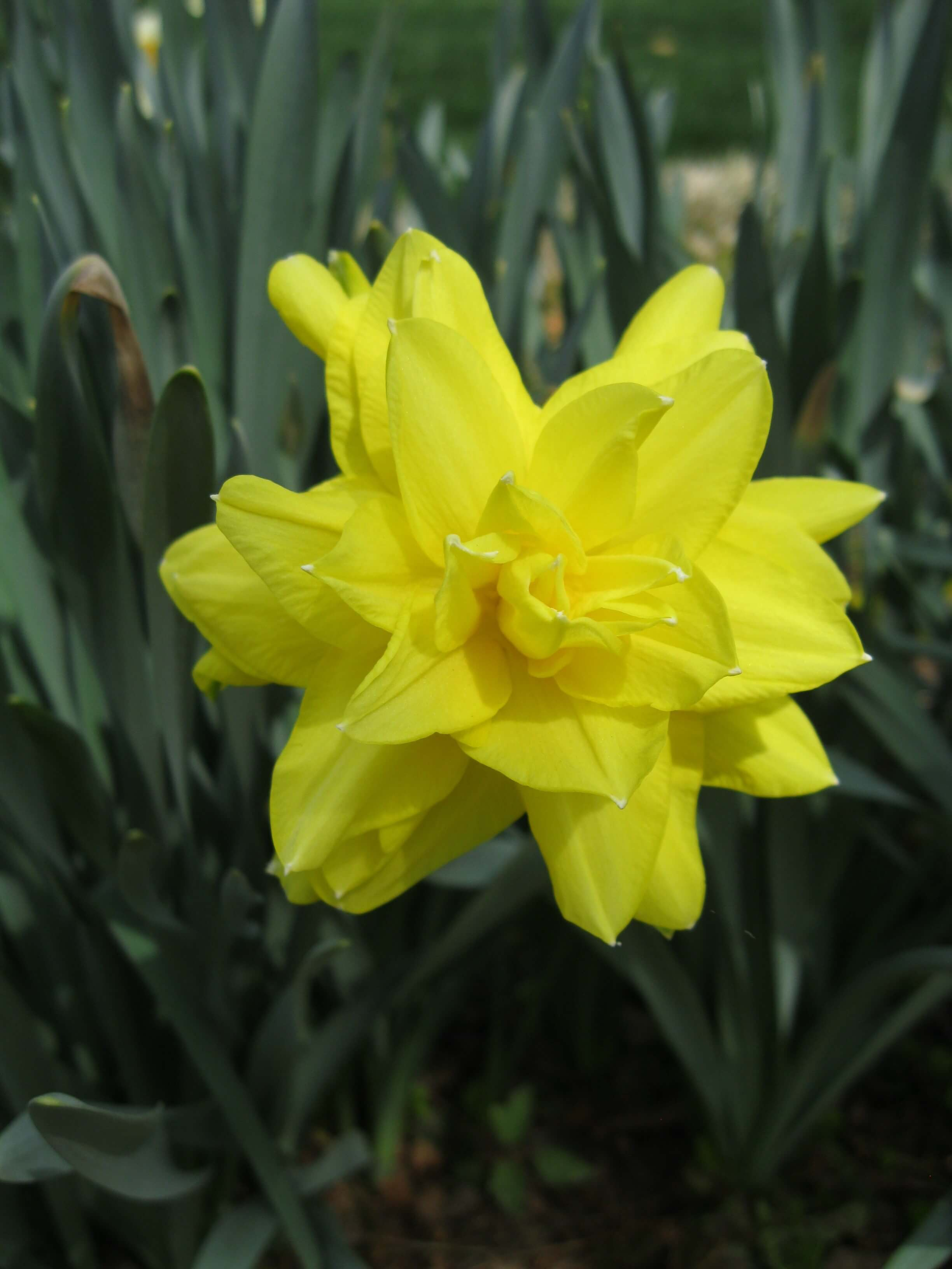 Daffodils in the Waypoint House Garden