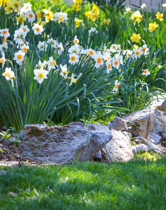 Fields of Daffodils!