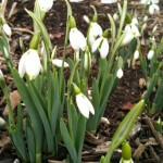 Snow Drops in the Waypoint House Gardens.