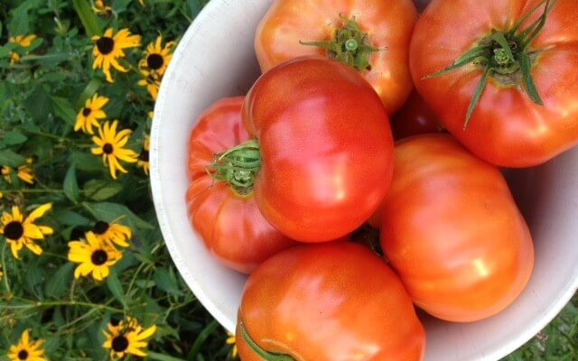Summer Brings Tomatoes from the Waypoint House garden
