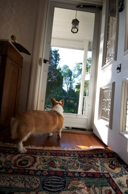 Neville the Corgi looks out from the front door of Waypoint House