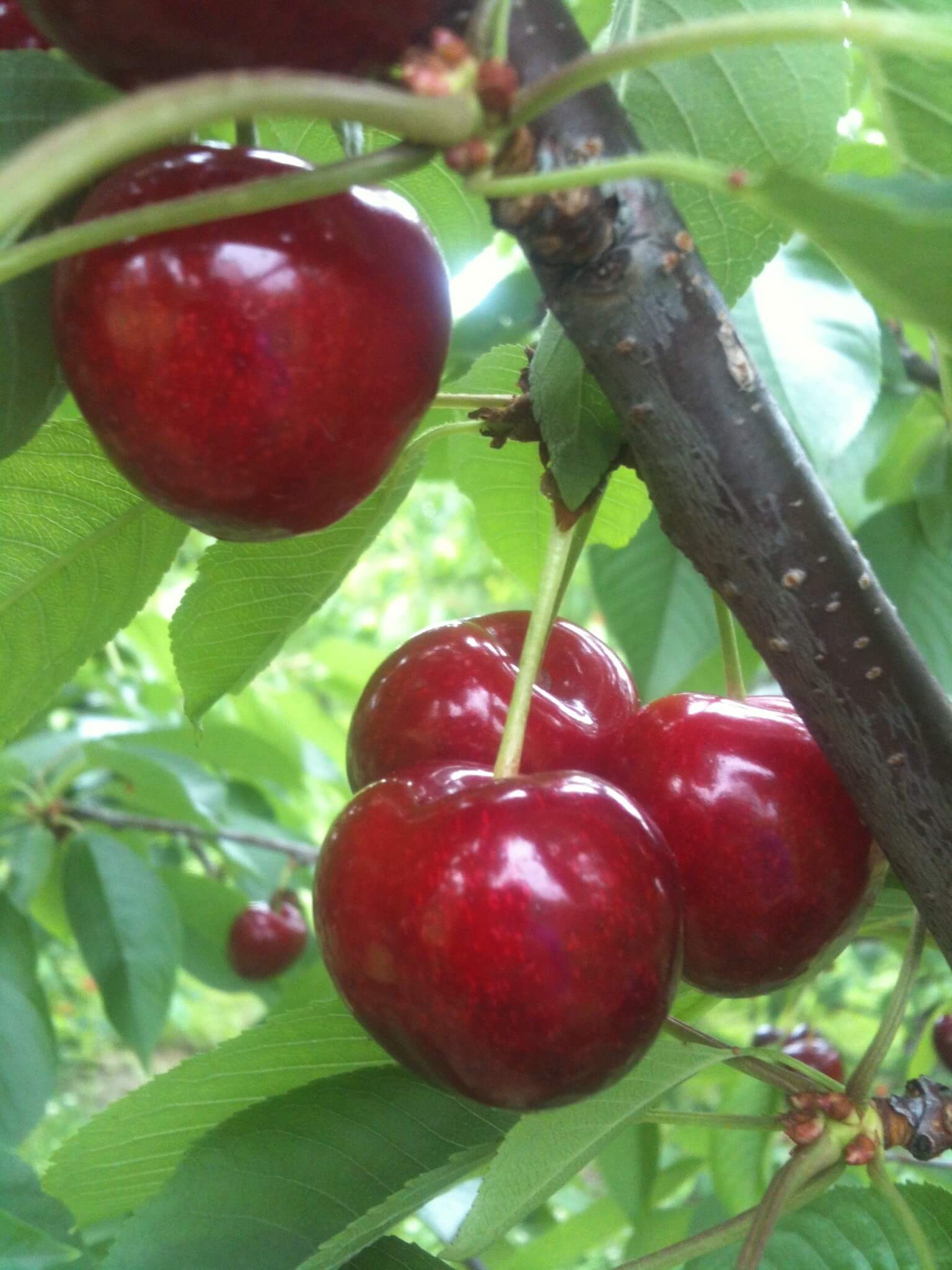 Fresh, sweet cherries at Mackintosh Fruit Farm in Berryville.