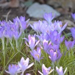Spring Crocus in the Waypoint House Garden