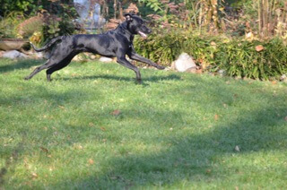 Cleo the greyhound takes a run in the Waypoint House backyard